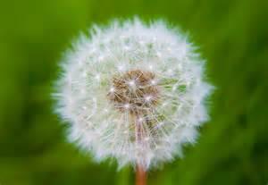 dandelion picture 3