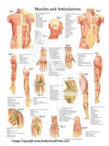 anatomy of the human muscle picture 6