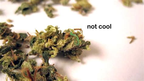 what herbs mimic marajuana on drugs screening picture 10