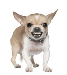 chihuahua teeth picture 5