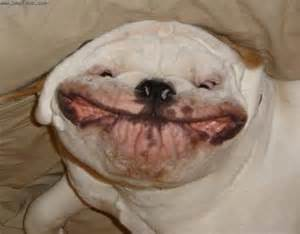 bulldogs with teeth picture 13