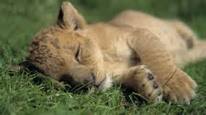 a lion sleeping picture 13