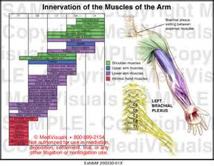 muscle innervations picture 6