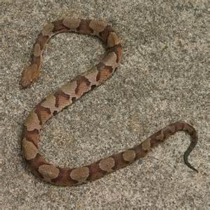 live pictures of corn snake h picture 2