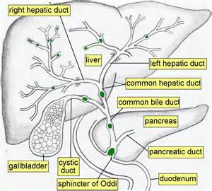 gall bladder and bile duct pictures picture 7