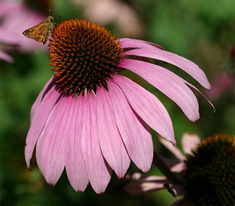 echinacea and the common cold picture 10