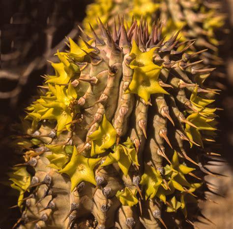 african hoodia cactus picture 10