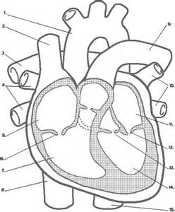 heart diagram picture 10