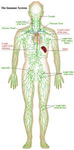cellulite lymph system picture 3
