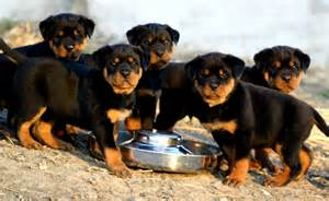 rottweiler aging picture 3
