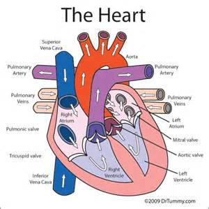 heart diagram blood flow picture 14