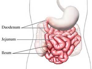 duodenum stomach colon picture 11