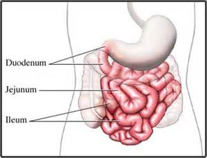 how long does digestion take in small intestine picture 11