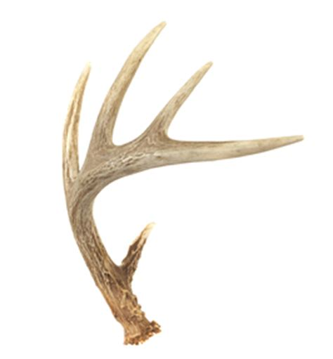 do you cycle deer antler spray? picture 12