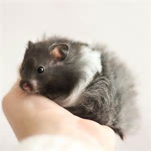 hamster black h picture 14