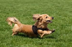 dachshund long hair picture 7