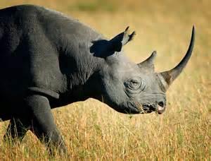 rhino echinacea picture 18