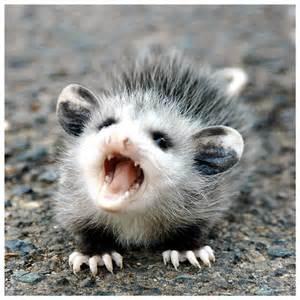 pictures of opossum h picture 5