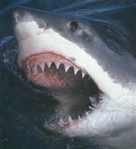 great white sharks teeth picture 7