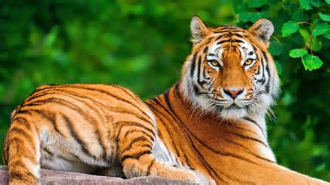 the swedish tiger guide free download picture 11