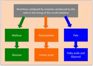 enzymes in the colon picture 11