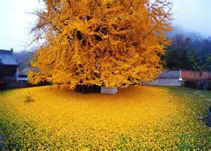 ginkgo tree picture 7