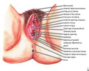 diagram of penis inside of virginal picture 10