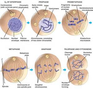 pictures of skin cancer cell cycle picture 7