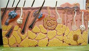 skin structure models picture 6