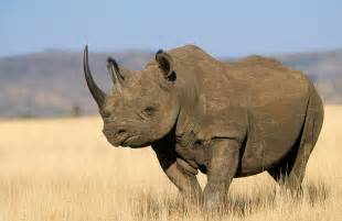 the rhinoceros has a penis about two feet long. picture 13