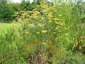fennel plant picture 1