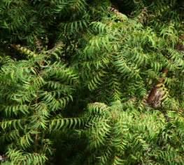 sibukaw herbal plants picture 7