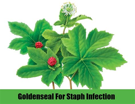 goldenseal herb for tooth infection picture 2