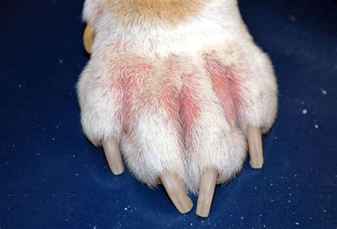 yeast on dog's skin picture 6
