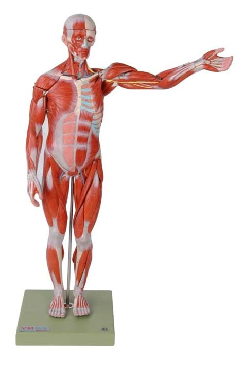 anatomy muscle model picture 7