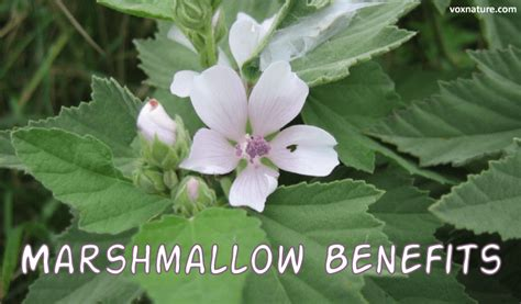 marshmallow (althaea officinalis) tea what stores in delaware picture 7