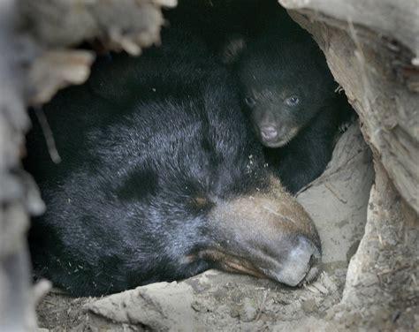 adirondack black bear sleep habits in spring picture 6