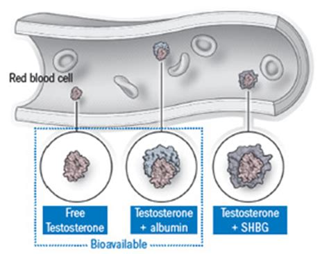 testosterone free vs bound picture 2