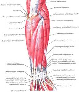 muscle tendon diagram picture 3