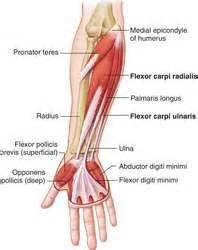flex carpi radialis muscle picture 1