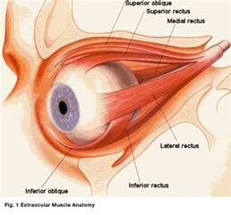 muscle that surrounds the eye orbit picture 1
