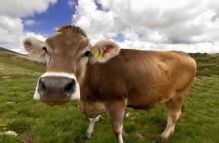 bovine h picture 1