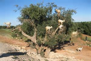 cost of argan picture 5