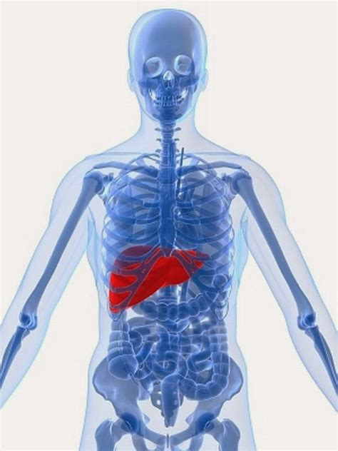 where is the liver located in a human picture 1