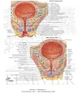 study of the female bladder picture 6