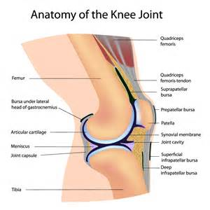 knee joints picture 1