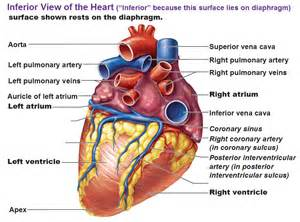 blood flow front heart picture 3