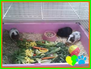 cavy diet picture 18