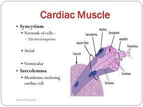 cardiac muscle as a syncytium picture 9