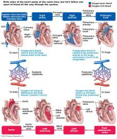 picture blood flow heart picture 17